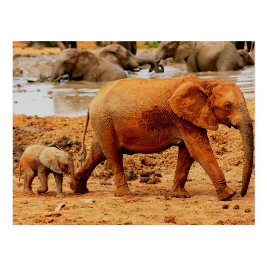 new born calf and elephant postcard