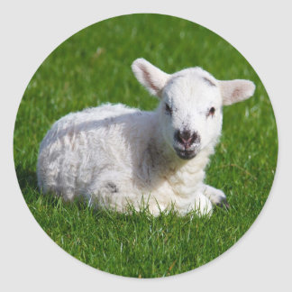 New born cute lamb on green grass classic round sticker