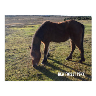 New Forest Pony2 Postcard