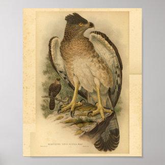 New Guinea Harpy Eagle Bird Color Vintage Print