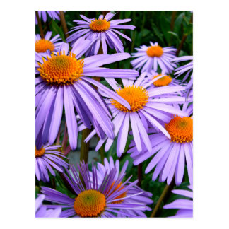 New York Aster Postcard
