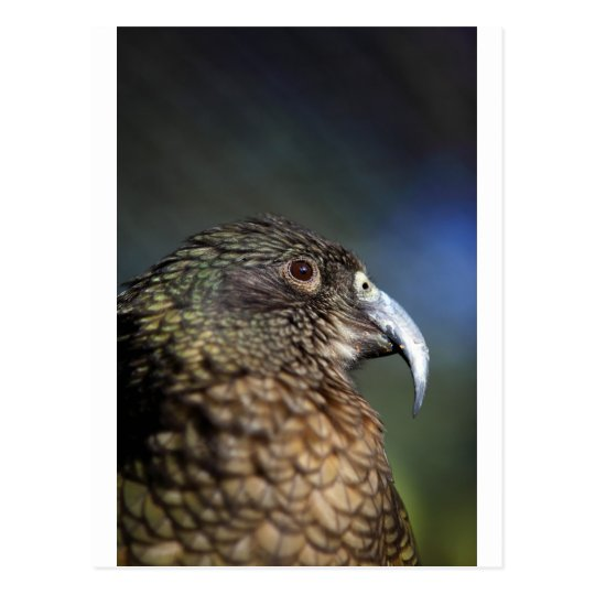 New Zealand Kea, alpine mountain parrot Postcard