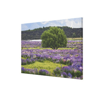 New Zealand, South Island. Blooming lupine and Canvas Print