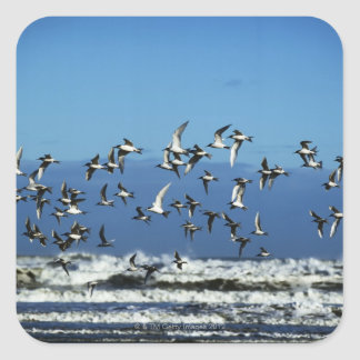 New Zealand, South Island, seagulls flying over Square Sticker