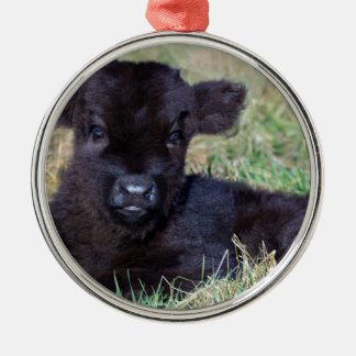 Newborn black scottish highlander calf lying christmas ornament