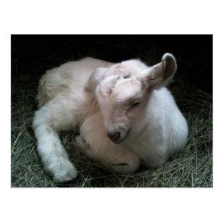 Newborn goat kid postcard