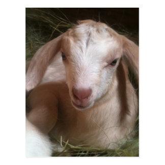 Newborn golden goat kid postcard