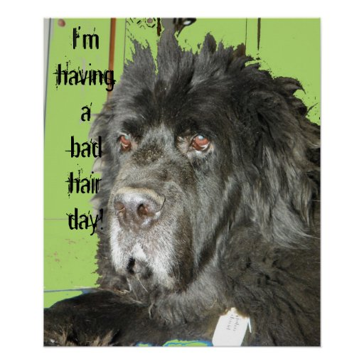 Newfoundland Dog Bad Hair Day poster