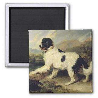 Newfoundland Dog Called Lion, 1824 (oil on canvas) Square Magnet