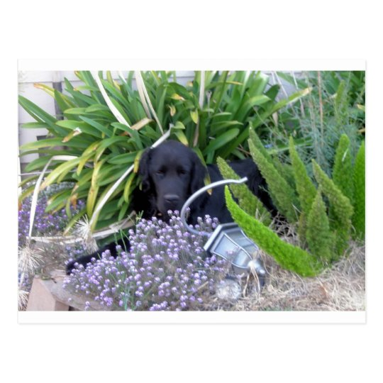 Newfoundland Dog & Flowers 156 Postcard
