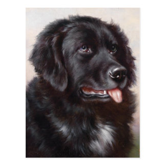 Newfoundland Dog Portrait Postcard