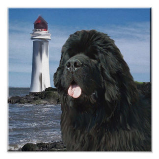 Newfoundland Dog Portrait Poster