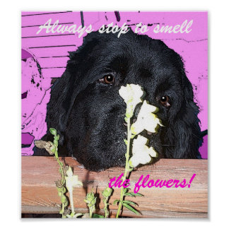 Newfoundland Dog Poster  Smell the tlowers