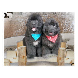 Newfoundland Puppies Love The Beach Postcard