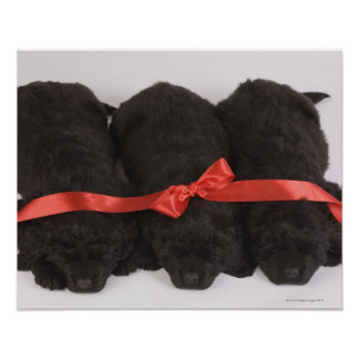 Newfoundland Puppies sleeping (Canis Poster