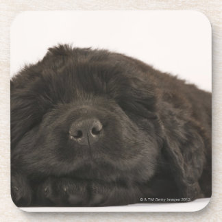 Newfoundland Puppy sleeping (Canis familiaris). Coaster