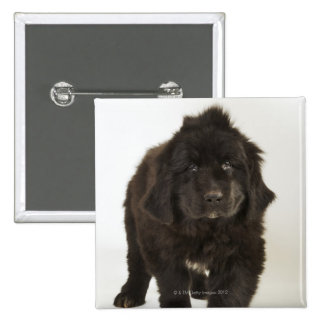 Newfoundland puppy, studio shot 15 cm square badge