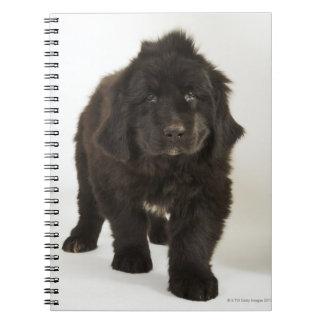 Newfoundland puppy, studio shot notebook