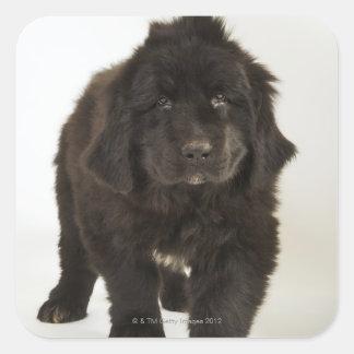 Newfoundland puppy, studio shot square sticker