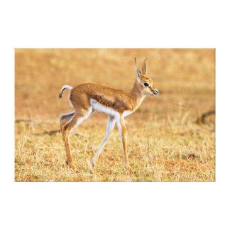 Newly Born Springbok (Antidorcas Marsupialis) Canvas Print