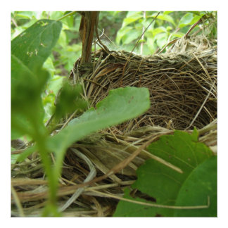 Newly Built but Empty Bird Nest in a Mulberry Tree Photo Art
