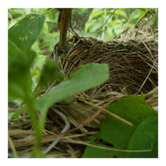 Newly Built but Empty Bird Nest in a Mulberry Tree Posters