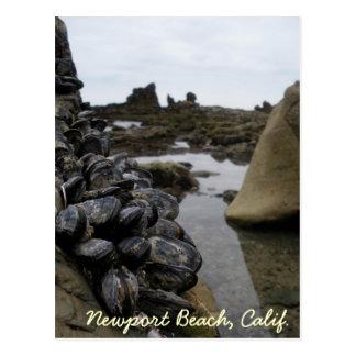 Newport Beach Muscles at Low Tide Postcard