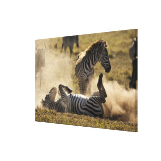 Ngorongoro Crater, Tanzania, Common Zebra, Equus Stretched Canvas Prints