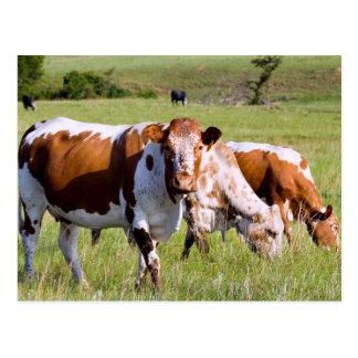 Nguni Cattle, Dawsons Lodge, Near Badplaas Postcard