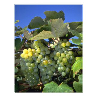Niagara grapes in upstate New York U S A Custom Flyer