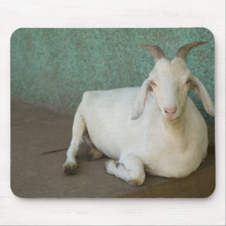 Nicaragua, Granada. Goat resting on porch in Mouse Mat