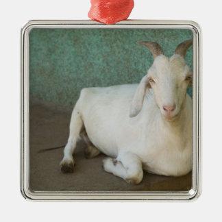 Nicaragua, Granada. Goat resting on porch in Silver-Colored Square Decoration