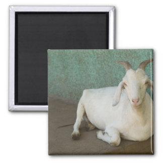 Nicaragua, Granada. Goat resting on porch in Square Magnet
