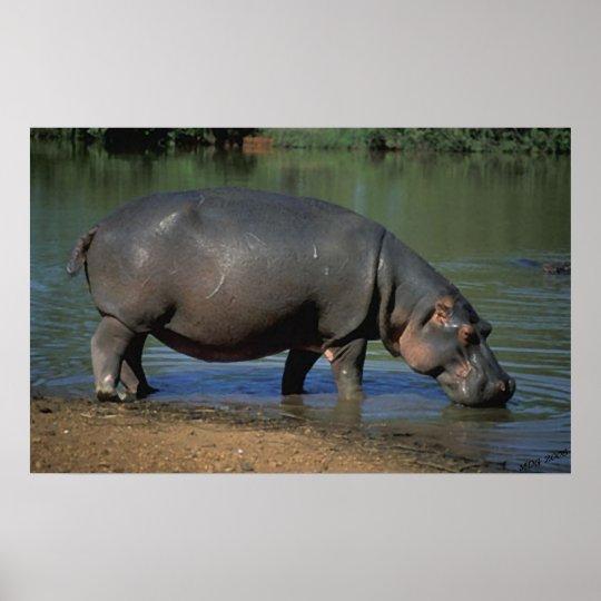 Nice Long Drink Hippopotamus Portrait Poster