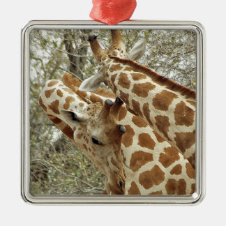 Niger, Koure, two Giraffes in bushes in the west Christmas Ornament
