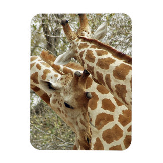 Niger, Koure, two Giraffes in bushes in the west Magnet