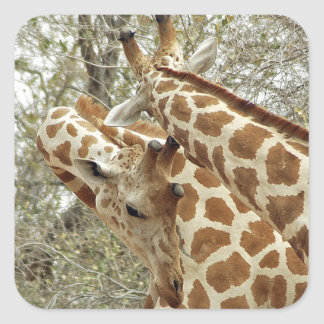 Niger, Koure, two Giraffes in bushes in the west Square Sticker