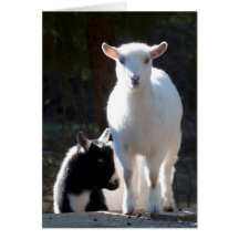 Nigerian Dwarf Goats on the Picnic Table