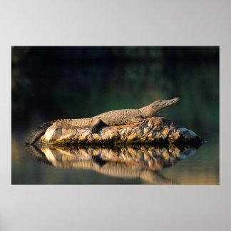 Nile Crocodile (Crocodylus Niloticus) On Rock Poster
