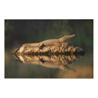 Nile Crocodile (Crocodylus Niloticus) On Rock Wood Print