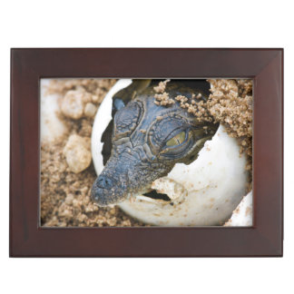 Nile Crocodile Hatchling Emerging From Egg Keepsake Box
