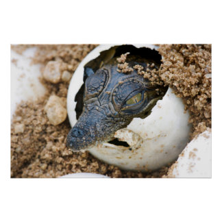 Nile Crocodile Hatchling Emerging From Egg Poster