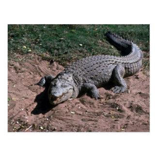 Nile Crocodile Post Cards