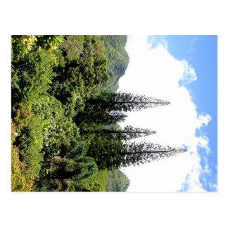 Norfolk Island PIne Hawai i Postcard