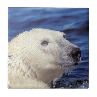 North America, Arctic Circle. Polar bear Tile