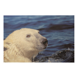 North America, Arctic Circle. Polar bear Wood Wall Art