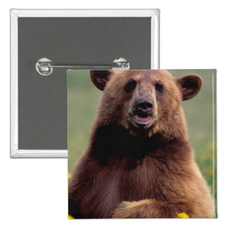 North America, California, cinnamon Black bear 15 Cm Square Badge