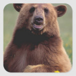 North America, California, cinnamon Black bear Stickers