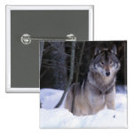 North America, Canada, Eastern Canada, Grey wolf 15 Cm Square Badge