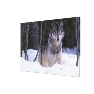 North America, Canada, Eastern Canada, Grey wolf Canvas Print